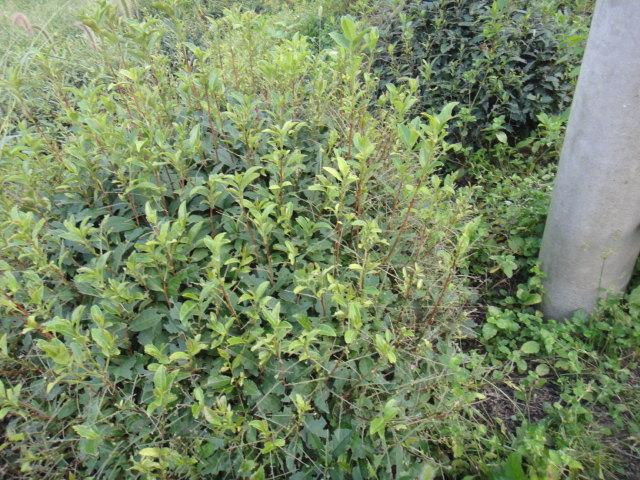 茶尺蠖 的生物学习性: 茶尺蠖是多食性昆虫,除了为害茶树,还为害大豆